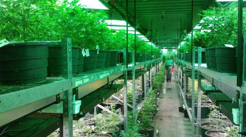 Considerados essenciais, dispensários de cannabis da Califórnia continuarão abertos durante quarentena