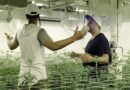Cannabis na TV: reality terá 16 empreendedores canábicos