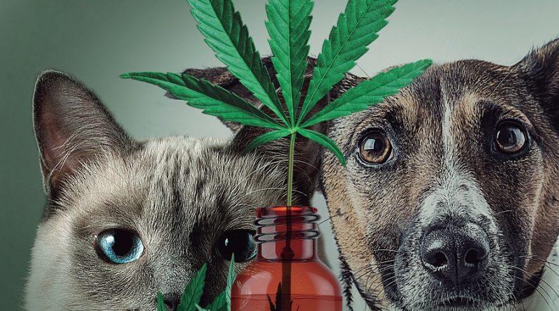 Veterinários fazem campanha e buscam regulação da Cannabis Medicinal para animais com o Conselho Federal de Medicina Veterinária